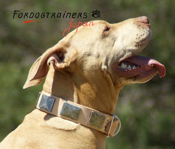 Decorated dog collar on Pitbull